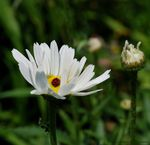 Title: Meadow Daisies