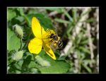 Title: Yellow flover and bee