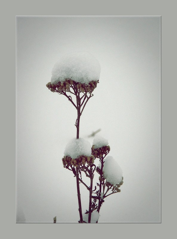 Snow and plant