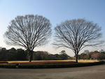 Title: Twin Trees (spring)Canon IXY DIGITAL 600