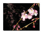 Title: Cherry blossoms in the eveningCanon IXY DIGITAL 900 IS