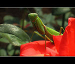 Title: The mantis on red roseCanon IXY DIGITAL 900 IS