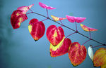 Title: Leaf dyed to red and yellowPentax K10D