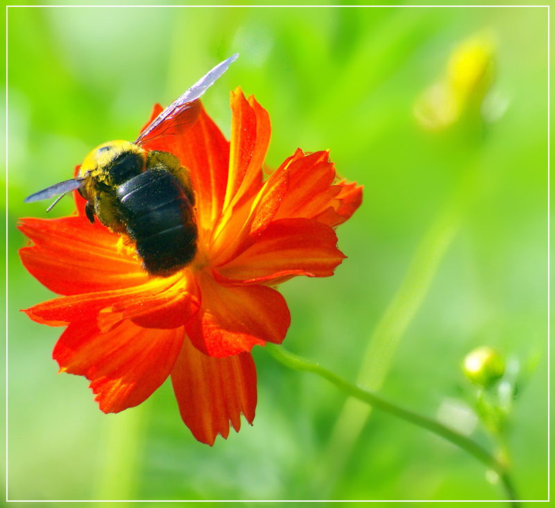 Bee that stops in flower of poppy
