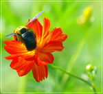Title: Bee that stops in flower of poppyPentax K10D