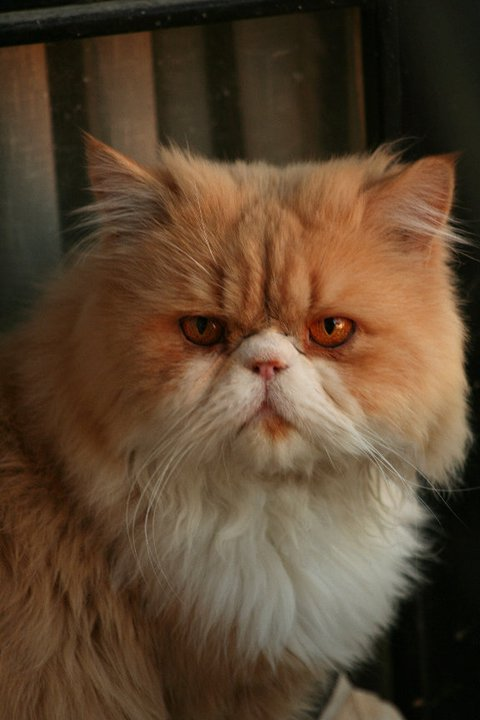 my persian cat