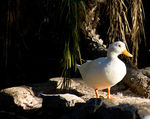 Title: Study of a White DuckSony Alpha A300