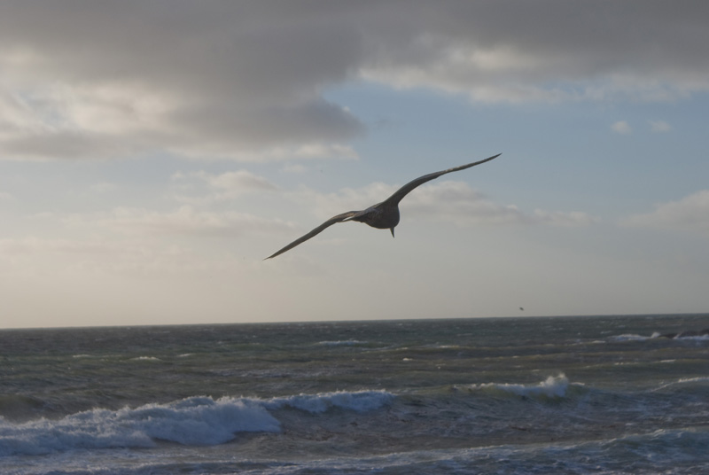 Gull Going for Home