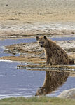 Title: Spotted Hyena bCanon 40D