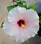 Title: Hibiscus GloryCanon EOS Rebel T2i