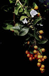 Title: Thin flowers and fruits