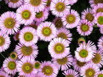 Title: Pink Asters