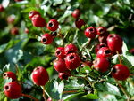 Title: Red Haw Berries
