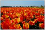 Title: For everyone a tulip!