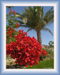 Title: Dahab Red Beauty