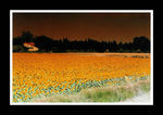 Title: Provence sunflowers
