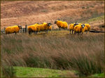 Title: Orange Sheep at TweedsmuirCanon EOS 20D