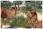 Title: Camels w/o work