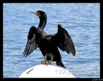 Title: Cormorant for Werner Camera: Canon Powershot SX10 1S