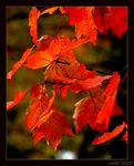 Title: Red Maple- NH