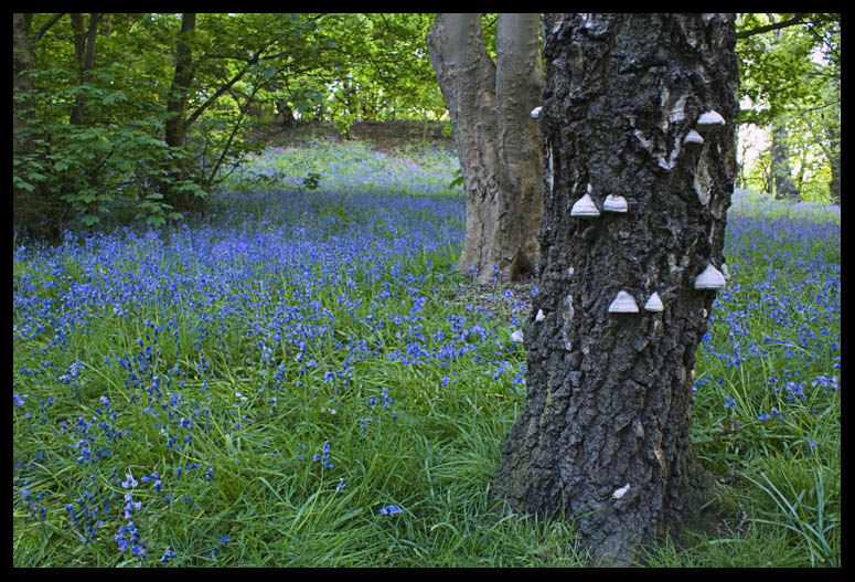Bluebells and Mushrooms