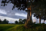 Title: Old Tree Meadow