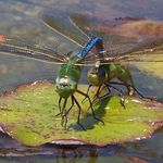 Title: Dragonfly Heat