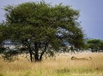 Title: Stalking the Serengeti Plains