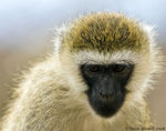 Title: Vervet Monkey in Portrait