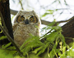 Title: Young Great Horned OwlCanon 5D