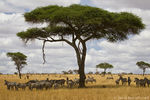 Title: Zebras and an Acacia