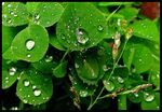 Title: Clover in the Rain 2Canon Powershot A510