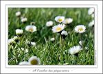 Title: With the shade of the daisiesPanasonic Lumix DMC-FZ7