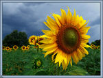 Title: Storm and sunflower