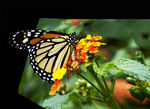 Title: Monarch lunch