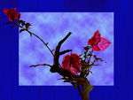 Title: My old Bougainvillea
