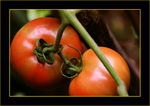 Title: My first tomatoes