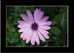 Title: Aster