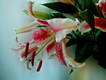 Title: Asian Lilies
