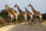 Title: Giraffe crossing the roadCanon EOS 7D