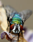 Title: Macro of fly