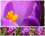 Title: Crocus Smiling at the Sun