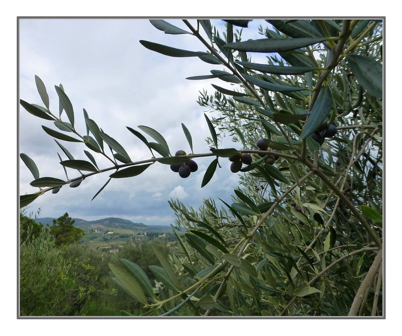 In Olive country