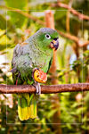 Title: Parrot Eating Guava