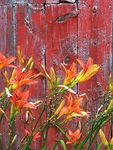Title: Day lilies at the cottage