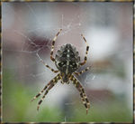 Title: European cross spiderCanon 350 D