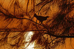 Title: Hen on the tree top