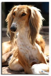 Title: Saluki, my dog!