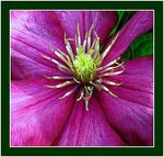 Title: Clematis
