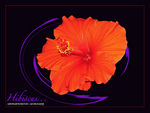 Title: Hibiscus for Beverley...